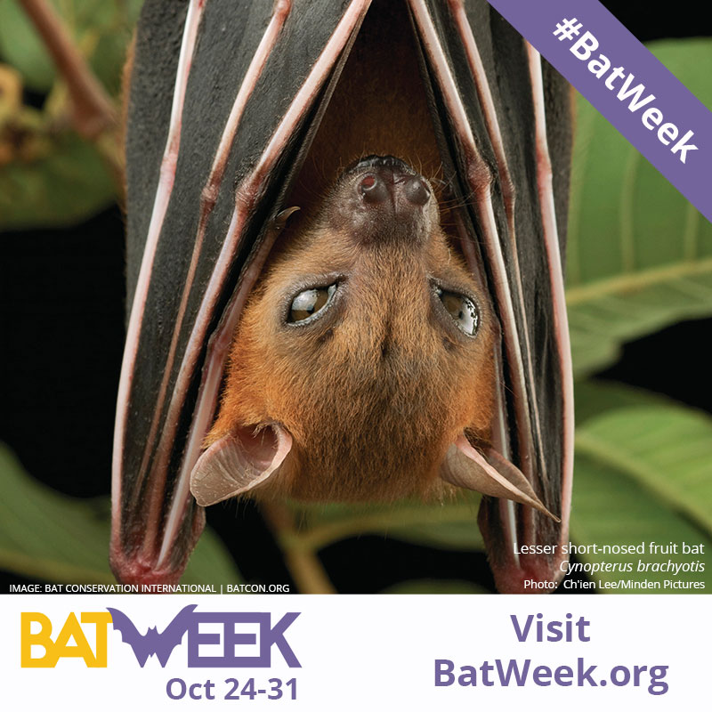 Bat-Week_Lesser short-nosed fruit bat